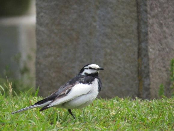 河川敷で見られる野鳥 ハクセキレイ