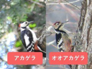 似ている野鳥の違いと見分け方 アカゲラとオオアカゲラ