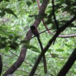 サンコウチョウの生息地と探す際のポイント