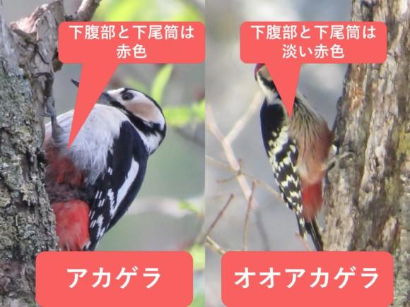 アカゲラとオオアカゲラ お腹の色の違い