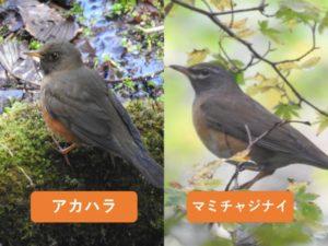 似ている野鳥の違いと見分け方 アカハラとマミチャジナイ