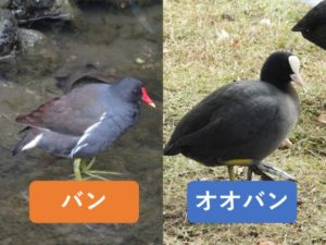 似ている野鳥の違いと見分け方 バン オオバン