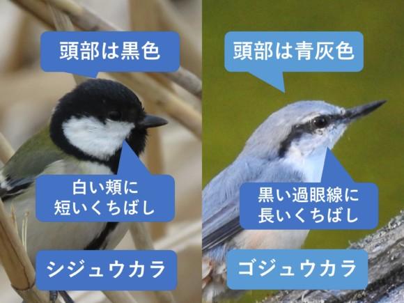 シジュウカラとゴジュウカラの違いと見分け方