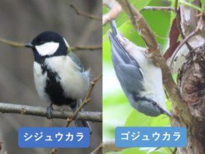 似ている野鳥の違いと見分け方 シジュウカラ ゴジュウカラ