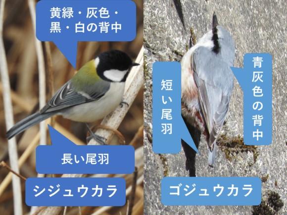 シジュウカラとゴジュウカラの違いと見分け方 背中と尾羽の違い