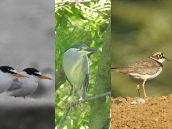 東京都内で見られる夏鳥たち