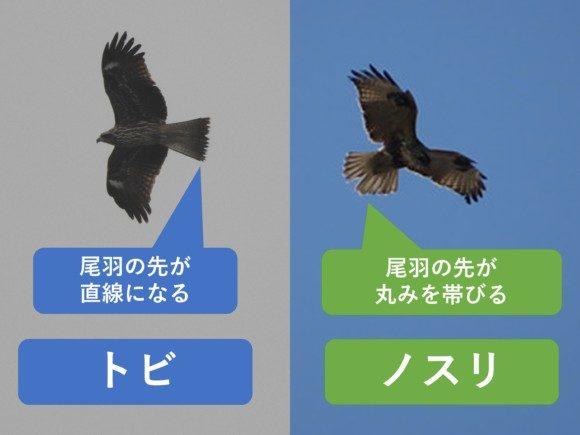 トビとノスリの違いと見分け方 尾羽の違い 飛翔時