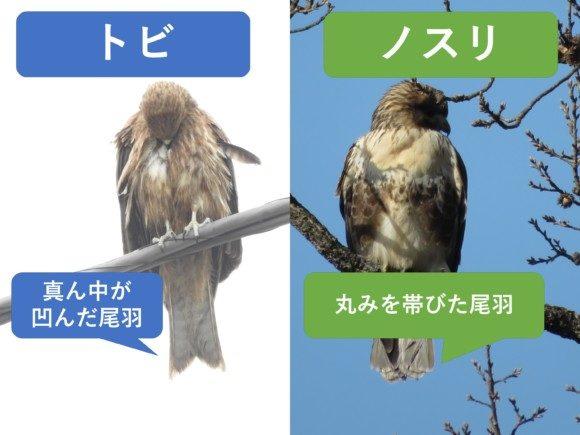トビとノスリの違いと見分け方 尾羽の違い