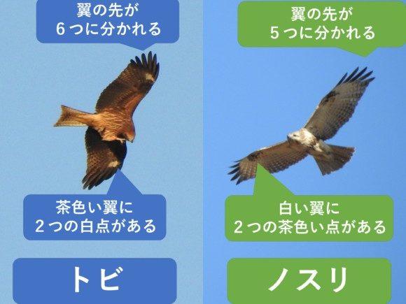 トビとノスリの違いと見分け方 飛翔時の違い