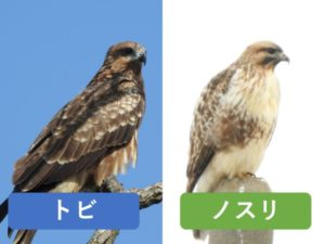 似ている野鳥の違いと見分け方 トビ ノスリ
