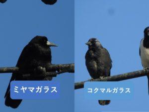 似ている野鳥の違いと見分け方 ミヤマガラス コクマルガラス