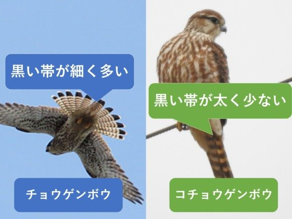 チョウゲンボウとコチョウゲンボウの違いと見分け方 尾羽の違い
