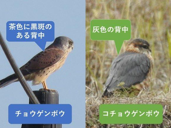 チョウゲンボウとコチョウゲンボウの違いと見分け方 背中の違い