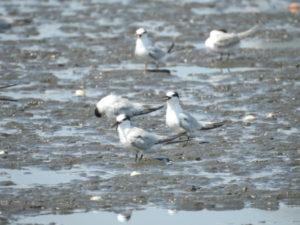 ふなばし三番瀬海浜公園で見られる野鳥 コアジサシ 冬羽