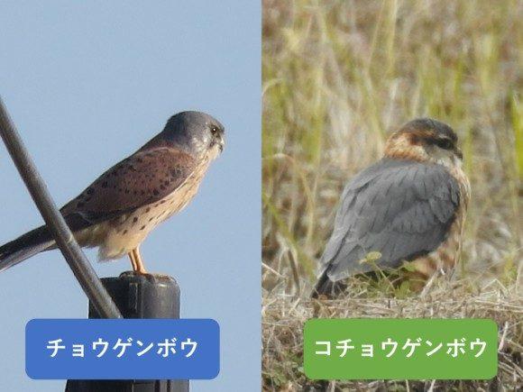 チョウゲンボウとコチョウゲンボウの違いと見分け方