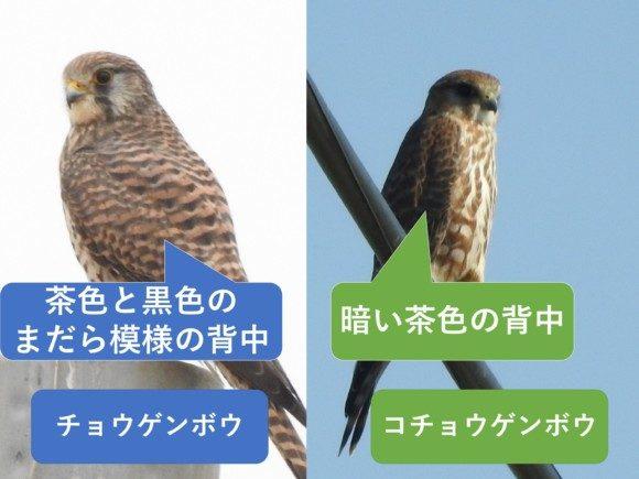 チョウゲンボウとコチョウゲンボウの違いと見分け方 背中の違い メス