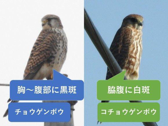 チョウゲンボウとコチョウゲンボウの違いと見分け方 胸の違い