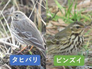 似ている野鳥の違いと見分け方 タヒバリ ビンズイ