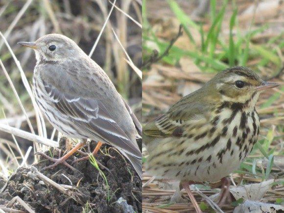 似ている野鳥の違いと見分け方