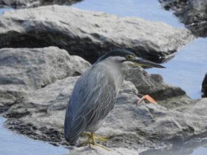 比屋根湿地の野鳥 ササゴイ