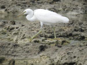 黒い野鳥 クロサギ 白色型