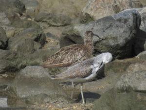 比屋根湿地 アオアシシギ チュウシャクシギ