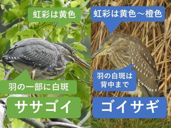 ササゴイとゴイサギの違いと見分け方 幼鳥の違い