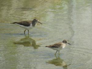 比屋根湿地の水路 イソシギとヒバリシギ