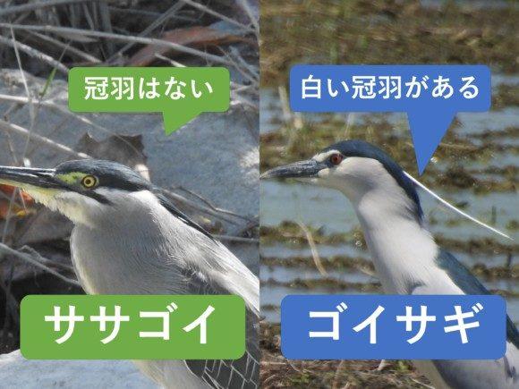 ササゴイとゴイサギの違いと見分け方 冠羽の有無