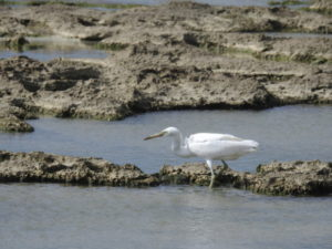 米須海岸の野鳥 クロサギ 白色型