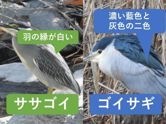 ササゴイとゴイサギの違いと見分け方 羽の違い