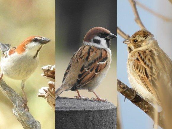 スズメに見た目や習性が似ている野鳥