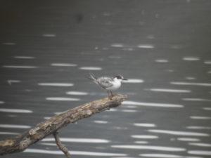 袖ヶ浦公園で見られる野鳥 クロハラアジサシ