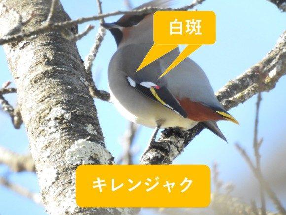 ヒレンジャクとキレンジャクの違いと見分け方 キレンジャク 白斑
