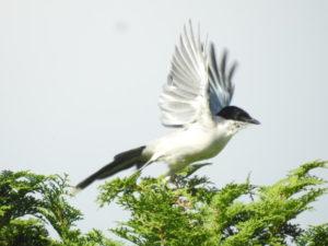 浜離宮恩賜庭園で見られる野鳥と観察ポイント オナガ