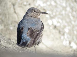 若洲海浜公園で見られる野鳥 イソヒヨドリ