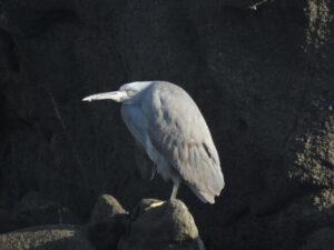 城ケ島の野鳥 クロサギ