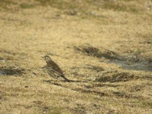 城ケ島の野鳥 タヒバリ