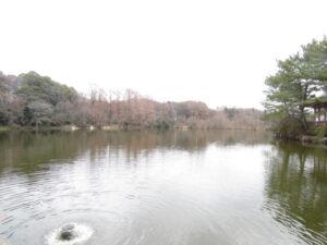 カモ類などの水鳥観察におすすめの探鳥地 石神井公園