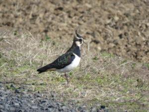 コジュリン公園の野鳥 タゲリ