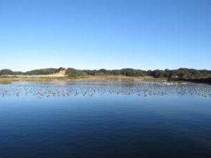 アメリカヒドリの生息地 八丁堰