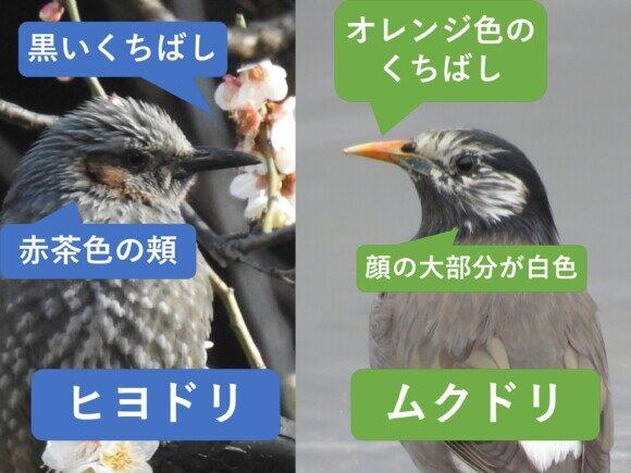 ヒヨドリとムクドリの違い くちばしの違い