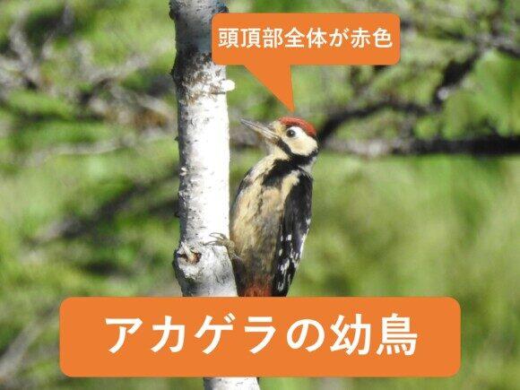 アカゲラとアオゲラの違いと見分け方 アカゲラの幼鳥