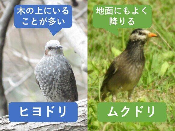 ヒヨドリとムクドリの違い 習性の違い