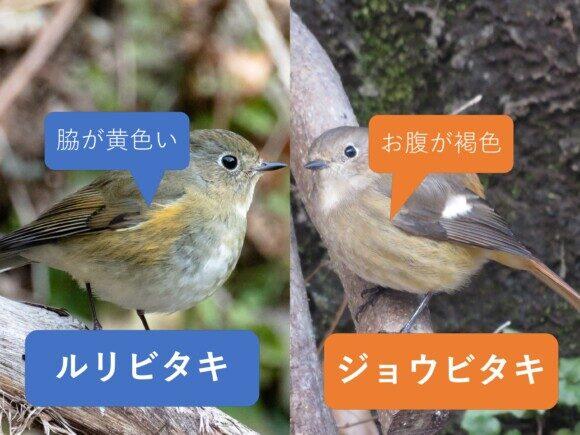 ルリビタキとジョウビタキのメス同士の違いと見分け方 お腹の違い
