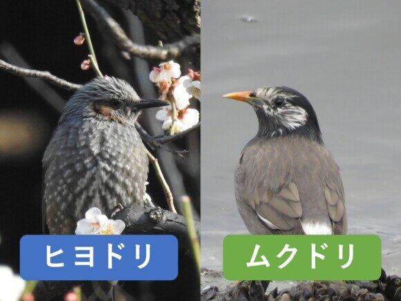 ヒヨドリとムクドリの違いと見分け方