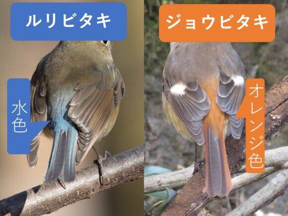 ルリビタキとジョウビタキのメス同士の違いと見分け方 腰の色の違い