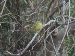 狭山湖の野鳥 アオジ