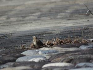 狭山湖の野鳥 タヒバリ