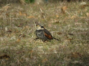 狭山湖の野鳥 ツグミ